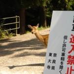 奈良の鹿は、町中を自由に歩いてます