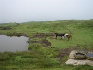阿蘇山の道路横は、放牧の大草原