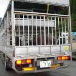 大分にて、この辺りから豚を運ぶトラックが増えだした