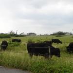 沖縄県黒島、人より牛の数のほうが多い島