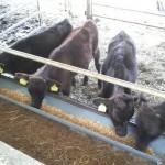 沖縄小浜島にて、牛さんに飼料をあげるお手伝いをした